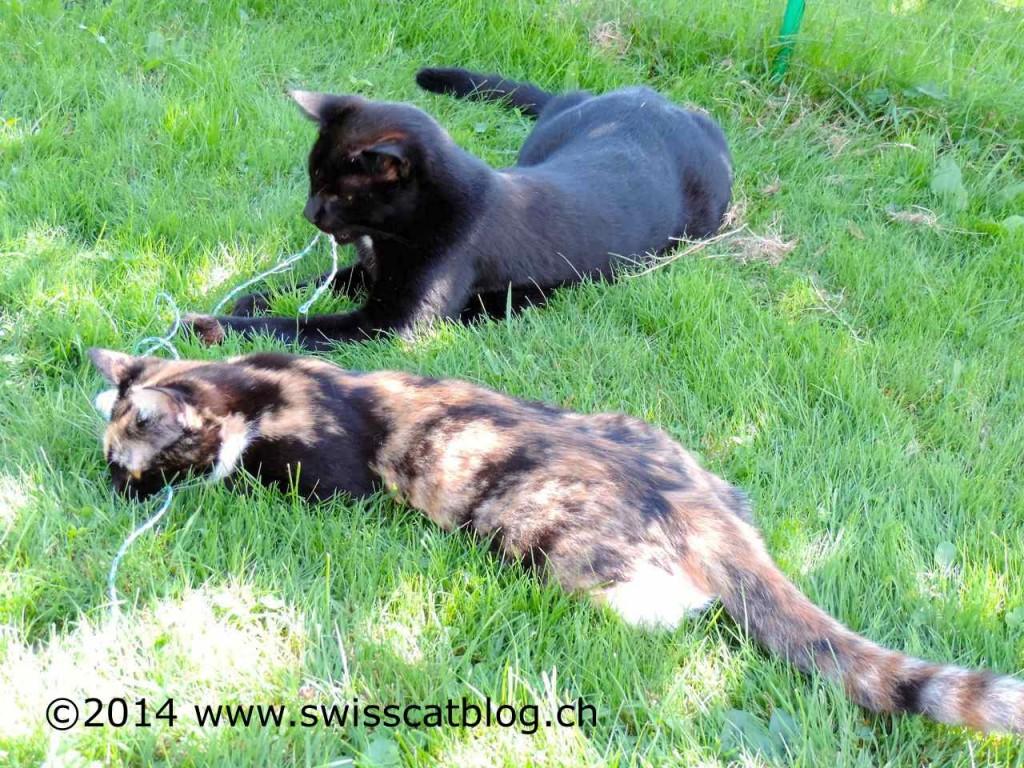 Pixie et Zorro jouent avec une ficelle au jardin