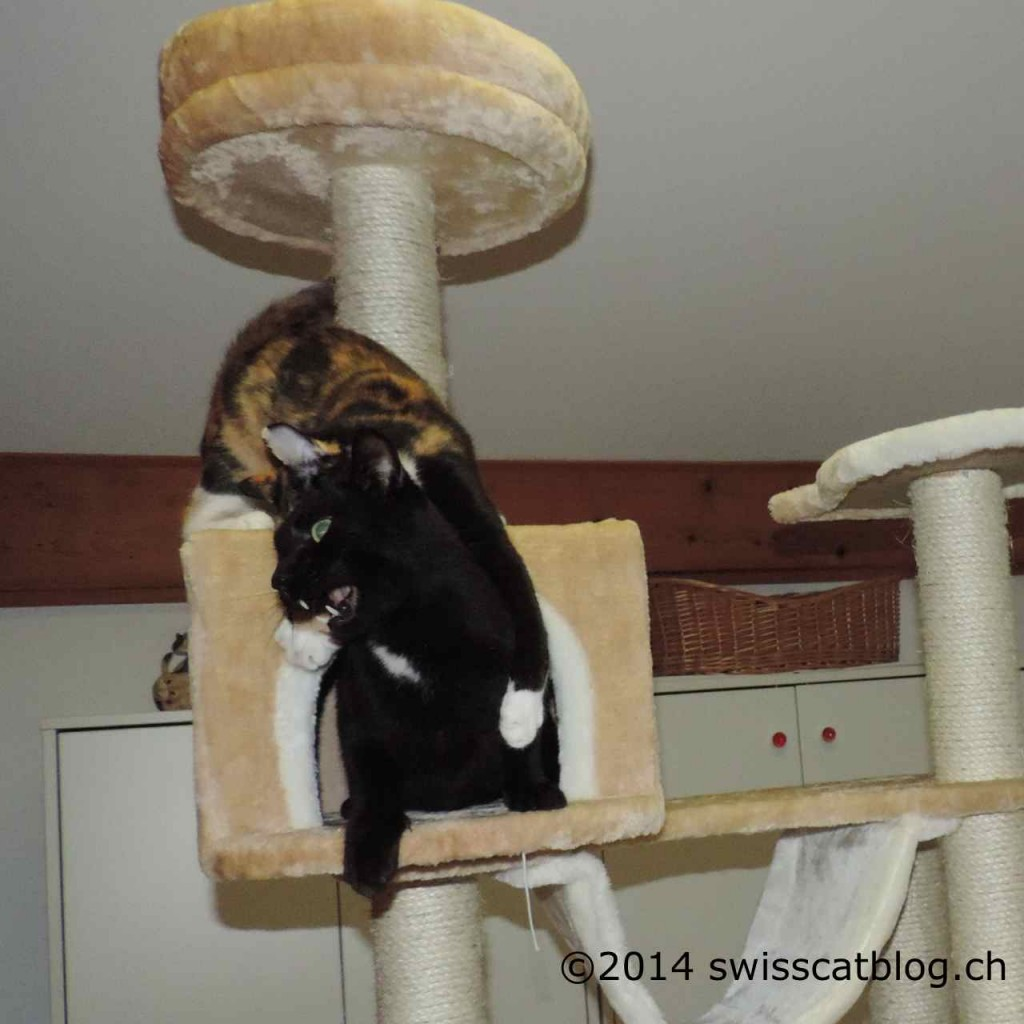 Pixie attacks Zorro on the cat tree