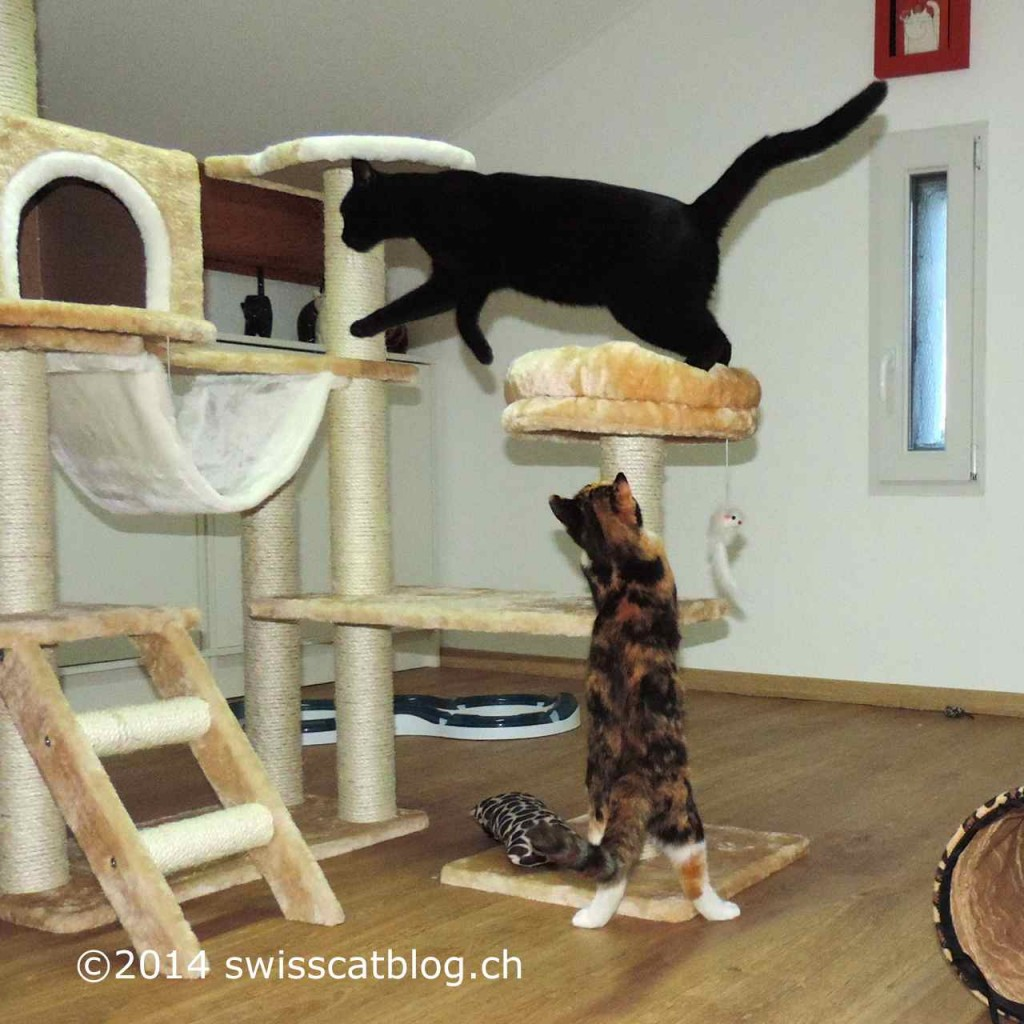 Pixie and Zorro playing on the cat tree 1