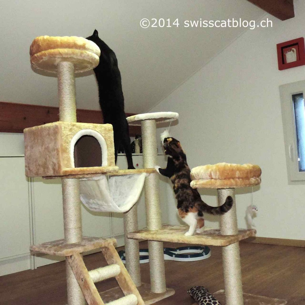 Pixie and Zorro playing on the cat tree 2