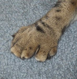 polydactyl paw