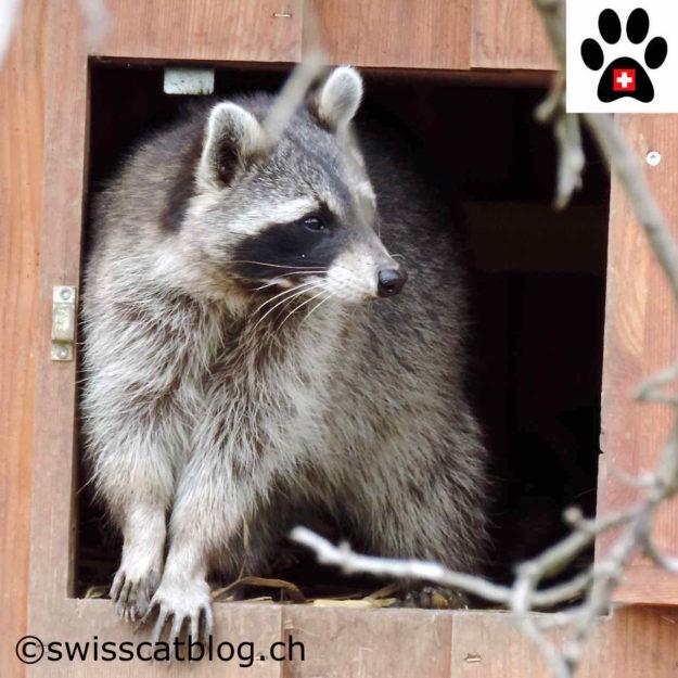 raton-laveur - racoon - Waschbär - procione