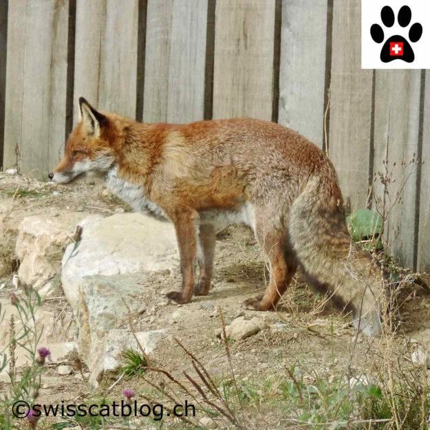 renard roux - red fox - Rotfuchs - volpe rossa