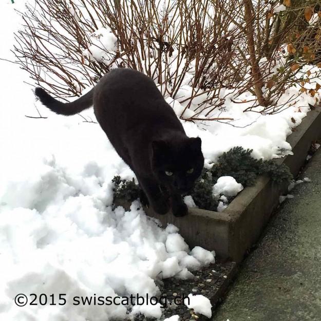 Zorro in the snow
