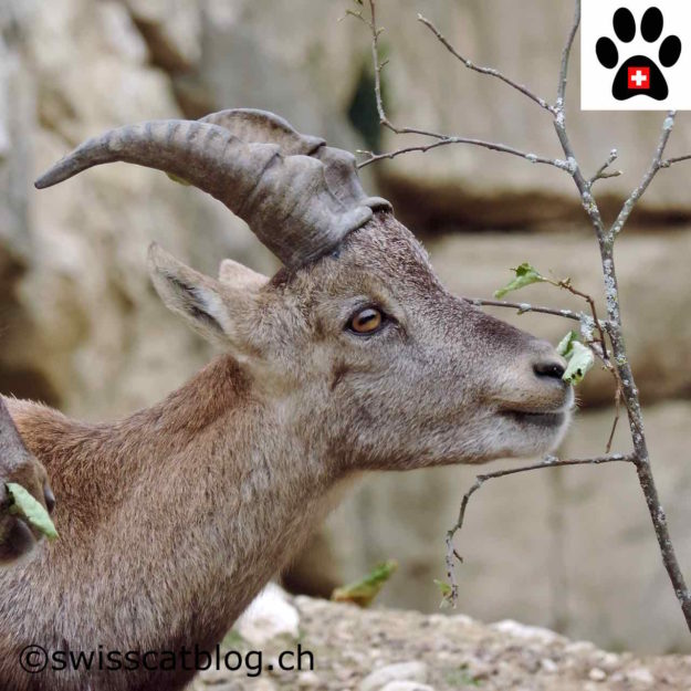bouquetin - ibex - Steinbock - stambecco