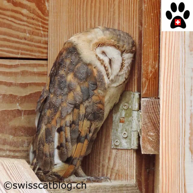 chouette effraie - barn owl - Schleiereule - barbagianni