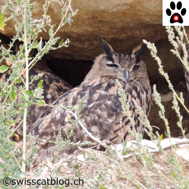 hibou Grand-Duc - eagle owl - Uhu - gufo reale