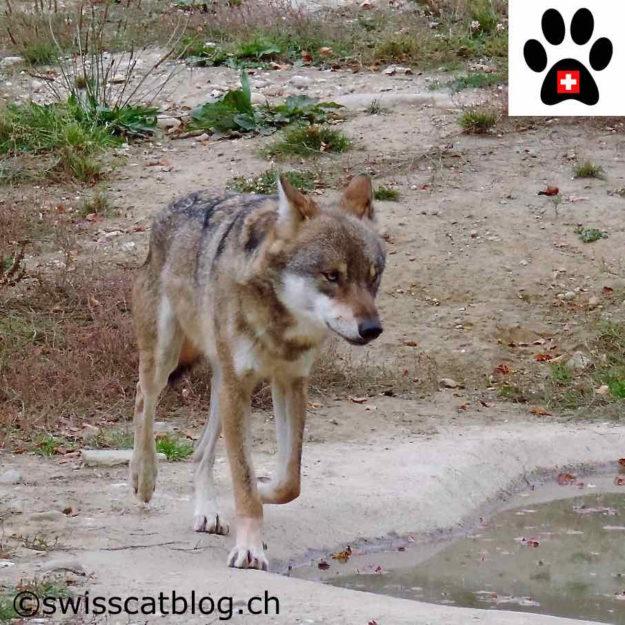 loup - wolf - Wolf - lupo