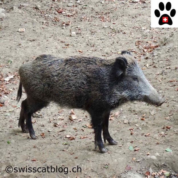 sanglier - boar - Wildschwein - cinghiale
